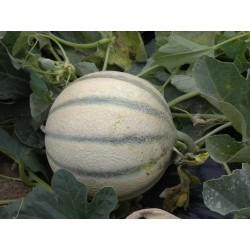 Melons PLEIN CHAMPS